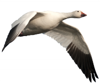 South Dakota Snow Goose Hunting Guide Service