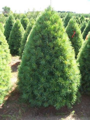 Types Of Christmas Trees.Christmas Tree Varieties Available Christmas Tree Types