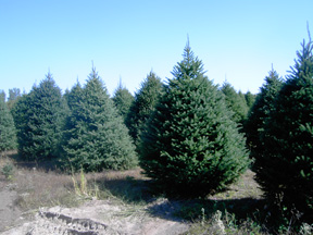 one of the best things about a real christmas tree is that each one is unique no two are ever exactly alike we grow several varieties of trees so that you