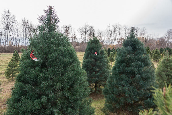 Scotch Pine Christmas Tree.Choose And Cut Or Fresh Pre Cut Scotch Pine Christmas Trees