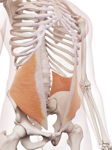 A Closer Look at Core Muscle - Internal Obliques