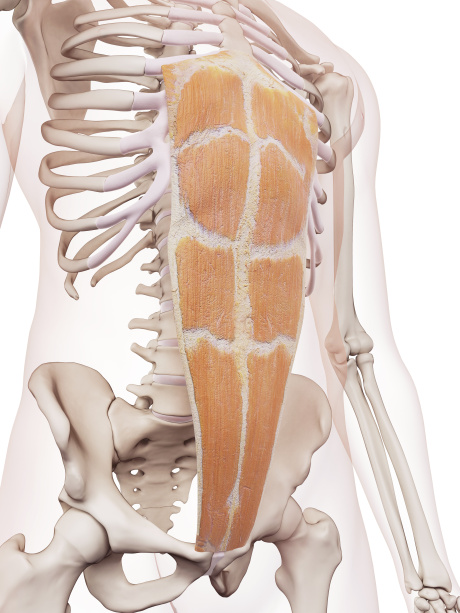 A Closer Look at Core Muscle - Rectus Abdominis